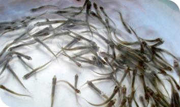 刚放殖的鱼苗按照这三点喂养会长得很快